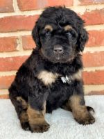 Bernedoodle Puppies for sale in Athens, AL, USA. price: NA