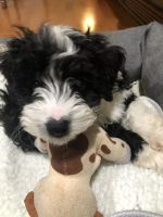 Bernedoodle Puppies for sale in Lake Ariel, PA 18436, USA. price: NA