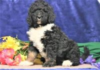 Bernedoodle Puppies for sale in Lancaster, PA 17602, USA. price: NA