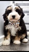 Bernedoodle Puppies for sale in Holly Springs, NC, USA. price: NA