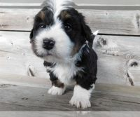Bernedoodle Puppies for sale in Phoenix, AZ, USA. price: NA