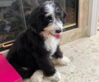 Bernedoodle Puppies for sale in Chester Springs, PA 19425, USA. price: NA