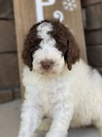 Bernedoodle Puppies for sale in Fayetteville, NC, USA. price: NA