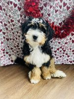 Bernedoodle Puppies for sale in Leo-Cedarville, IN, USA. price: NA