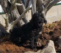 Bernedoodle Puppies for sale in Newaygo, MI 49337, USA. price: NA