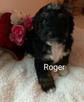 Bernedoodle Puppies for sale in Reading, MI 49274, USA. price: NA