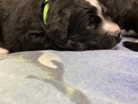 Bernedoodle Puppies for sale in Slippery Rock, PA 16057, USA. price: NA