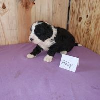 Bernedoodle Puppies for sale in Pine City, MN 55063, USA. price: NA