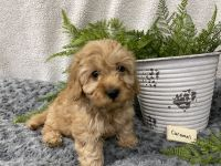 Bernedoodle Puppies for sale in Denver, PA, USA. price: NA