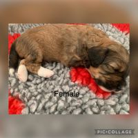 Bernedoodle Puppies for sale in Dunlap, TN 37327, USA. price: NA