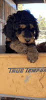 Bernedoodle Puppies for sale in Flagstaff, AZ, USA. price: NA