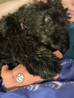 Bernedoodle Puppies for sale in Indianapolis, IN, USA. price: NA