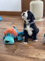 Bernedoodle Puppies for sale in Navarre, OH 44662, USA. price: NA