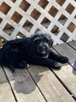 Bernedoodle Puppies for sale in Millbury, OH 43447, USA. price: NA