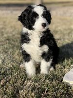 Bernedoodle Puppies for sale in Las Vegas, NV, USA. price: NA