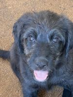 Bernedoodle Puppies for sale in Deltona, FL, USA. price: NA