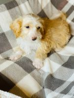 Bernedoodle Puppies for sale in Romulus, MI, USA. price: NA