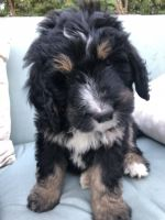 Bernedoodle Puppies for sale in Provo, UT, USA. price: NA