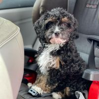 Bernedoodle Puppies for sale in Charlottesville, VA, USA. price: NA