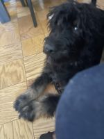 Bernedoodle Puppies for sale in New York, NY 10036, USA. price: NA