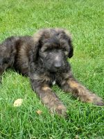 Bernedoodle Puppies for sale in Watertown, WI 53094, USA. price: NA