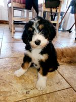 Bernedoodle Puppies for sale in Sacramento County, CA, USA. price: NA