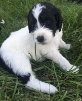 Bernedoodle Puppies for sale in Garrettsville, OH 44231, USA. price: NA
