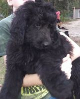 Bernedoodle Puppies for sale in Ocala, FL, USA. price: NA