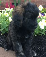 Bernedoodle Puppies for sale in Greenwood, SC, USA. price: NA