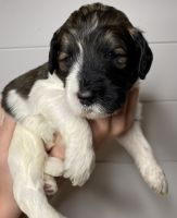 Bernedoodle Puppies Photos