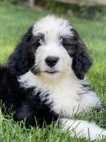 Bernedoodle Puppies for sale in West Berlin, NJ 08091, USA. price: NA