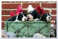 Bernedoodle Puppies for sale in Bristol, TN 37620, USA. price: NA