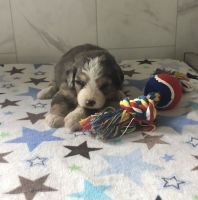 Bernedoodle Puppies for sale in Mt Pleasant, MI 48858, USA. price: NA