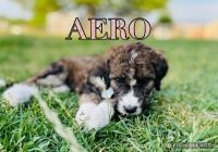 Bernedoodle Puppies for sale in Kanesville, UT 84315, USA. price: NA