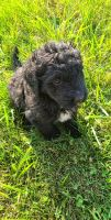 Bernedoodle Puppies for sale in Ansonia, OH 45303, USA. price: NA