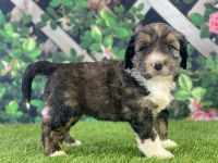 Bernedoodle Puppies for sale in Temecula, CA, USA. price: NA