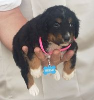 Bernedoodle Puppies for sale in Seymour, MO 65746, USA. price: NA