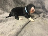 Bernedoodle Puppies for sale in Chetek, WI 54728, USA. price: NA