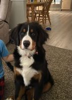 Bernese Mountain Dog Puppies for sale in Dover, PA 17315, USA. price: NA