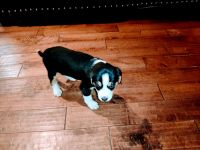 Bernese Mountain Dog Puppies for sale in Laurel, IN, USA. price: NA