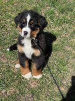 Bernese Mountain Dog Puppies for sale in Alexandria, VA, USA. price: NA