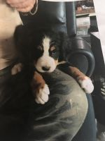 Bernese Mountain Dog Puppies for sale in Chesapeake, OH 45619, USA. price: NA