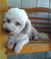 Bichon Bolognese Puppies for sale in Tujunga, Los Angeles, CA 91042, USA. price: NA