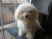 Bichon Bolognese Puppies for sale in Berkeley, CA, USA. price: NA
