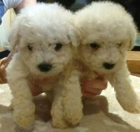 Bichon Bolognese Puppies for sale in Waco, TX, USA. price: NA