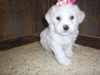 Bichon Bolognese Puppies for sale in Boston, MA, USA. price: NA