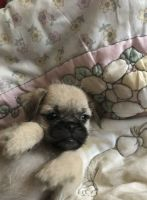 Bichon Bolognese Puppies for sale in New York, NY, USA. price: NA