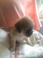 Bichon Bolognese Puppies Photos