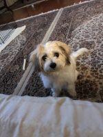 Bichon Bolognese Puppies for sale in Nashville, TN, USA. price: NA