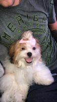 Bichon Bolognese Puppies for sale in Kilgore, TX 75662, USA. price: NA
